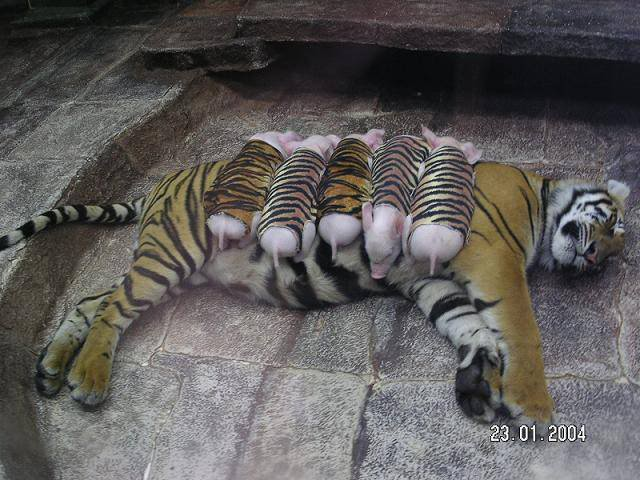 Tiger Adopts Litter of Pigs File0003
