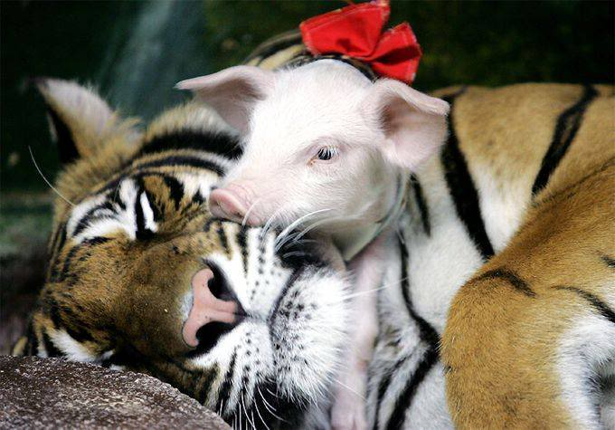 Tiger Adopts Litter of Pigs File0014