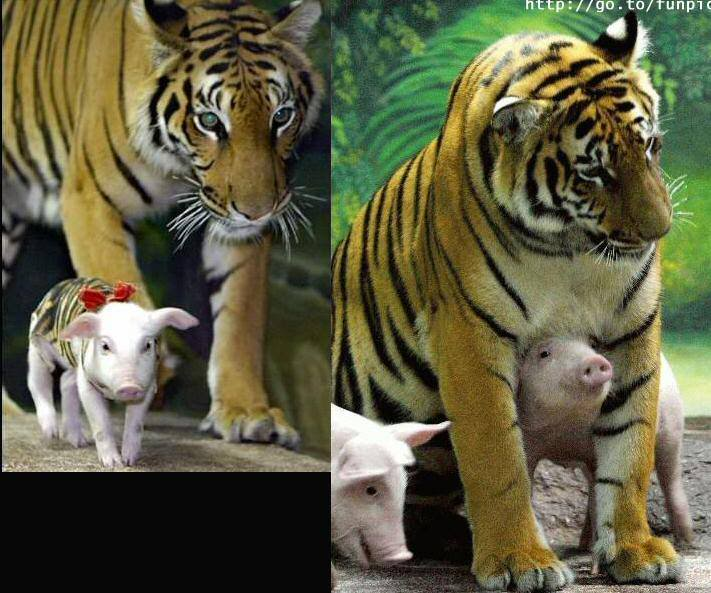 Tiger Adopts Litter of Pigs File0021