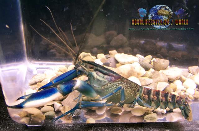 information- cherax irian jaya(crayfish-Krebse) 100_9223