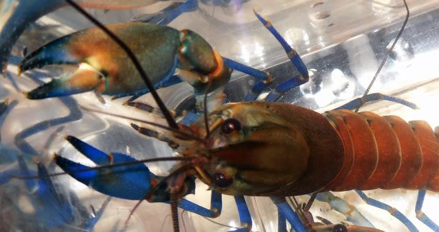 Les bourses aquariophiles ou Malanyika ce déplace Cheraxajamaru4
