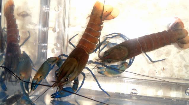 information- cherax irian jaya(crayfish-Krebse) Cheraxajamaru8