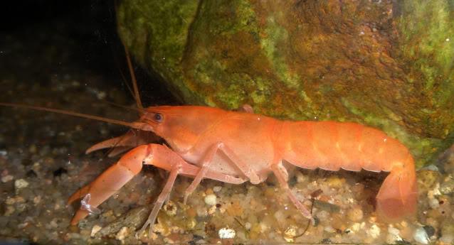information- cherax irian jaya(crayfish-Krebse) Cheraxholtuisiorange