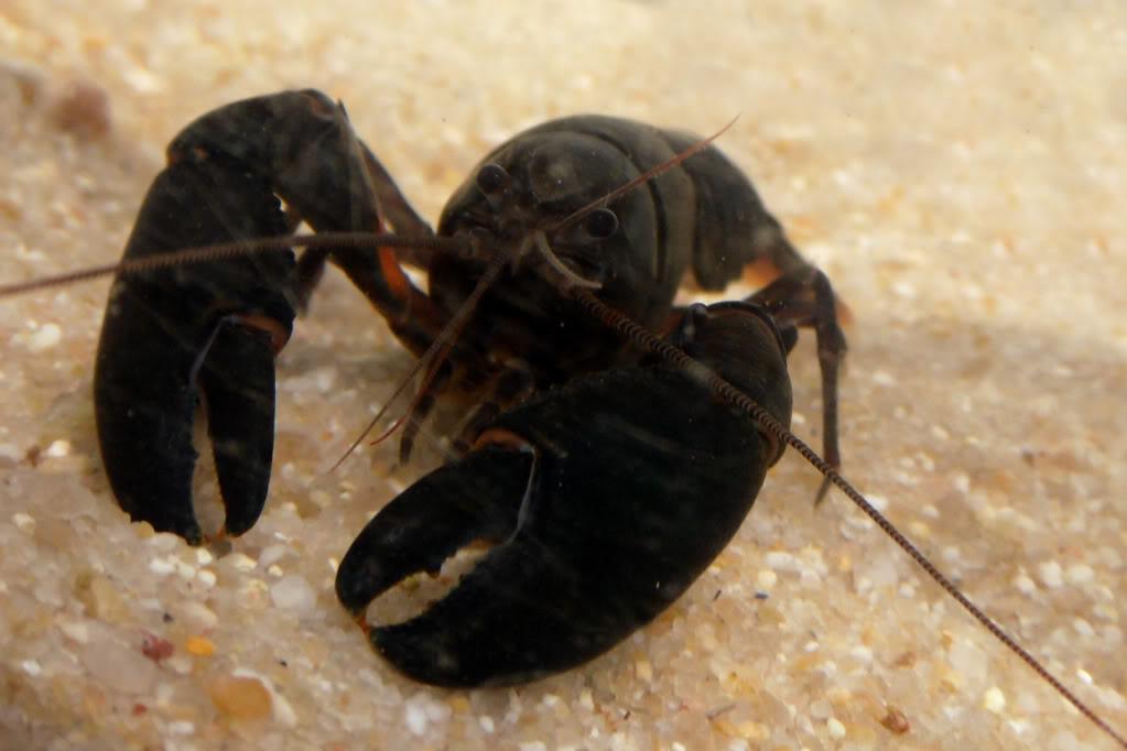 information- cherax irian jaya(crayfish-Krebse) Cheraxiriantoblack3