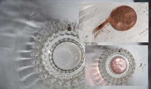 Reproduction Cherax - Comparaison de croissance  Cheraxholthuisi22jours0