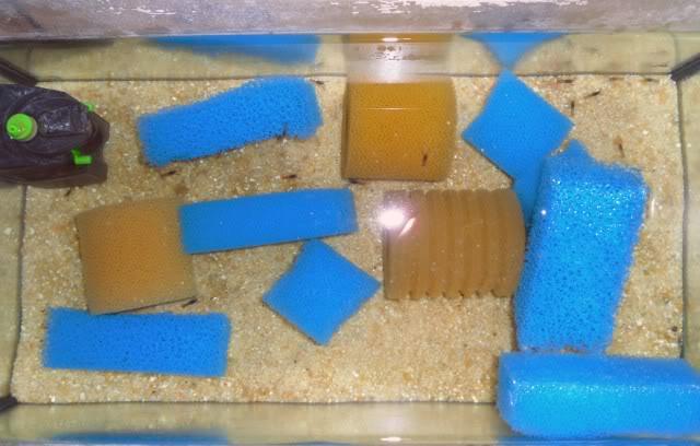 Reproduction Cherax Irianto black pearl Cheraxiriantoblack-aquarium