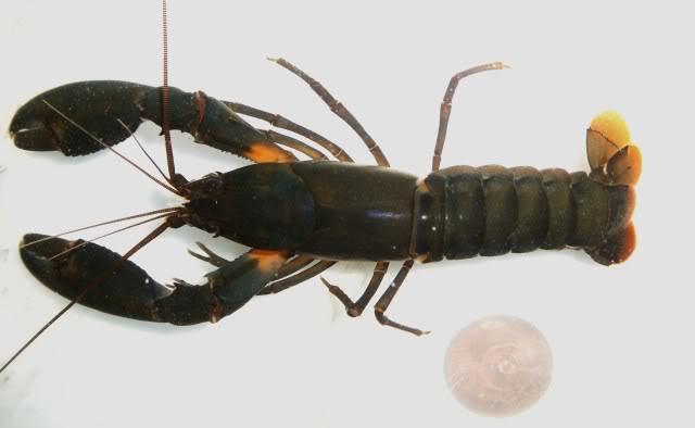 Cherax irianto black pearl  Cheraxiriantoblack-mle2