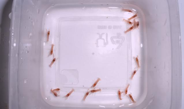 Reproduction Cherax Irianto black pearl Cheraxiriantoblack02-4