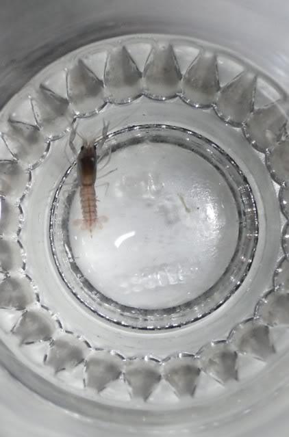 Reproduction Cherax Irianto black pearl Cheraxiriantoblack1-1