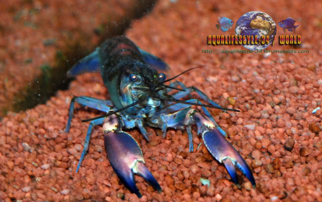 information- cherax irian jaya(crayfish-Krebse) CheraxspRedBrick6