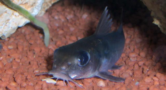 Chrysichthys brevibarbis Chrysichthysbrevibarbis