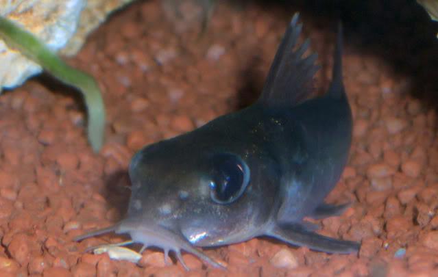 Chrysichthys brevibarbis Chrysichthysbrevibarbis2