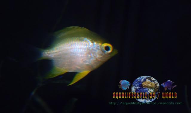 Golden Damsel DSC_0083