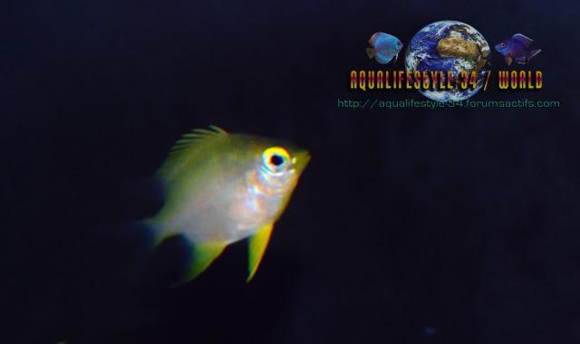 Golden Damsel DSC_0085