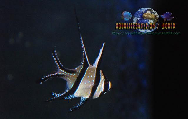 Pterapogon kauderni DSC_0117