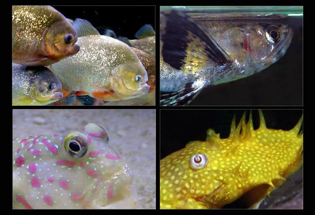 La vision des poissons EYE