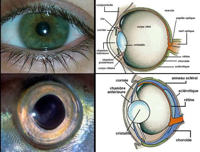 La vision des poissons Eye1