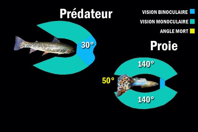 La vision des poissons Predateur