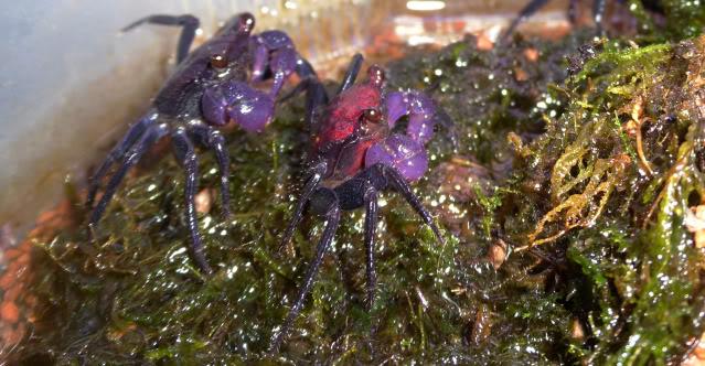 Les crabes chez Malanyika Geosesarmaspcrabevampireviolet1
