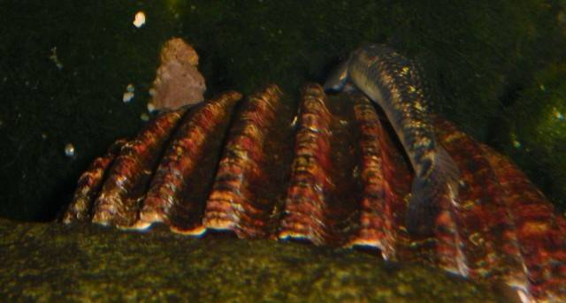 what species of Stiphodon female ? Stiphodonfemelleid2