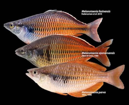 la disparition des espèces endémiques de l'irian jaya - the disappearance of endemic species of Irian Jaya.  Foto_Rainbow_Fasin_Ayamaru_n_Kurumo