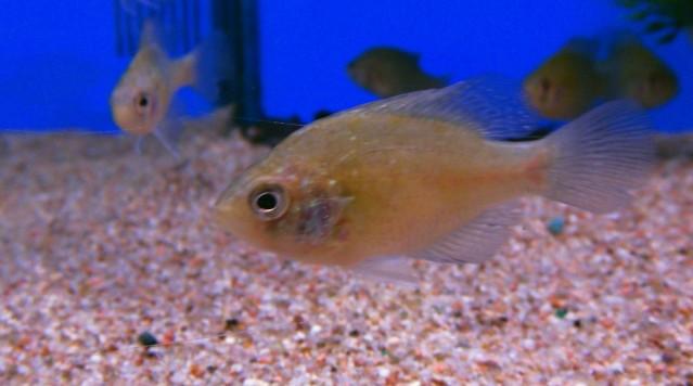 Donnons nous suffisamment de nourritures à nos poissons? Enneacanthusgloriosus