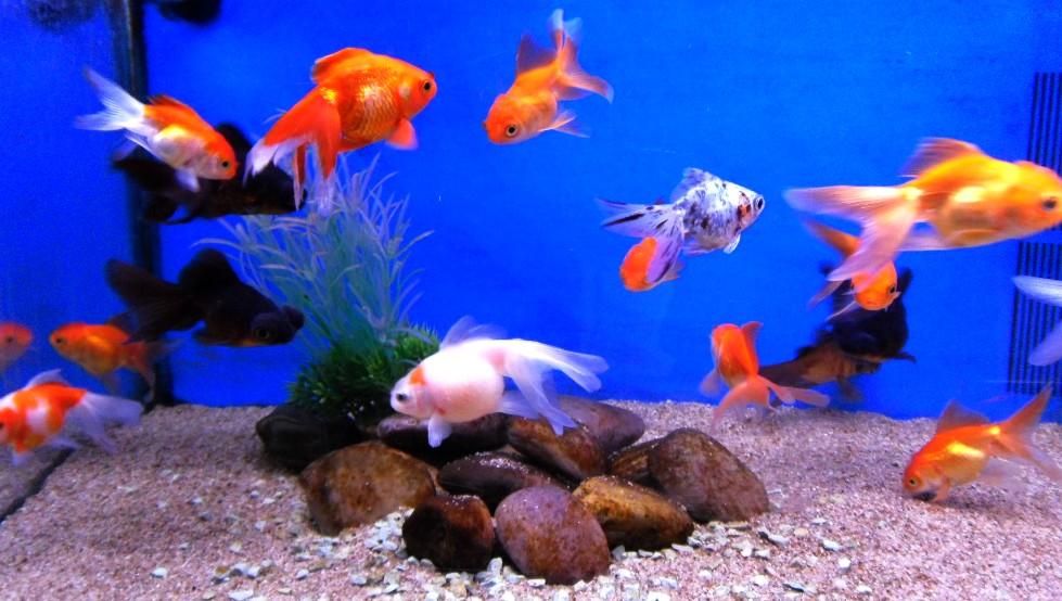 stock liste des poissons d 39 eau douce de jardiland lattes. Black Bedroom Furniture Sets. Home Design Ideas