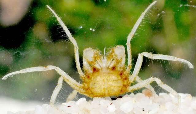 Limnopilos naiyanetri Limnopilosnaiyanetri3