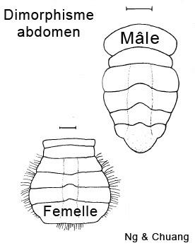 Limnopilos naiyanetri Limnopilosnaiyanetridimorphisme