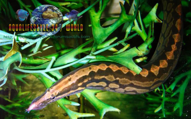 We invite all Aquarists to share their experience on spiny-eels MASTACEMBELUSARMATUS2