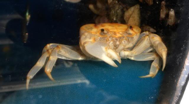Les crabes chez Malanyika Holhuisanalipkei1