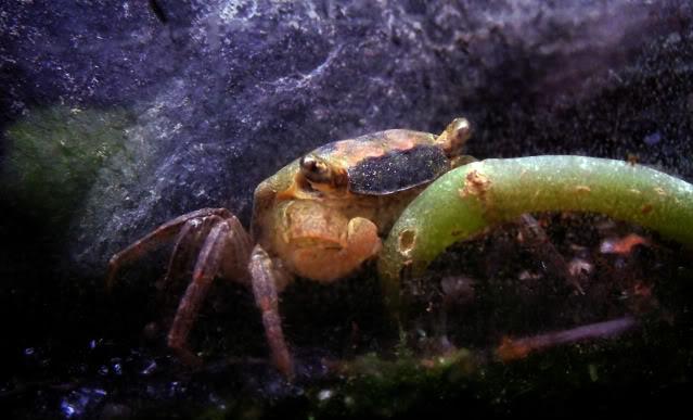 Arrivage des invertebres d'eau douce - Malanyika Crabemalanyika