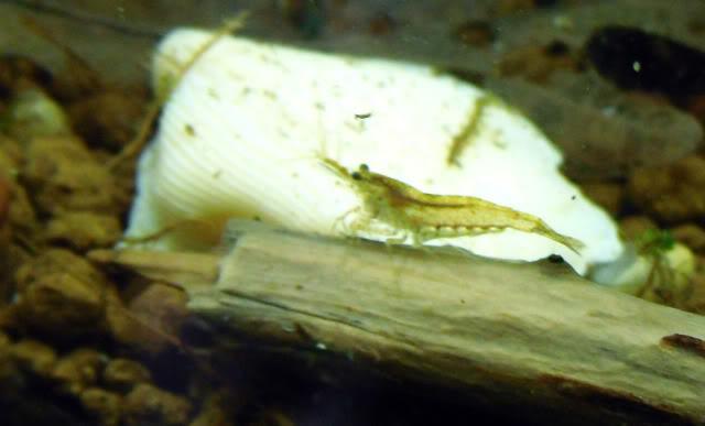 Arrivage des invertebres d'eau douce - Malanyika Crevettesmalanyika3