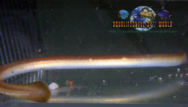Moringua raitaborua: Moringuaraitaborua10