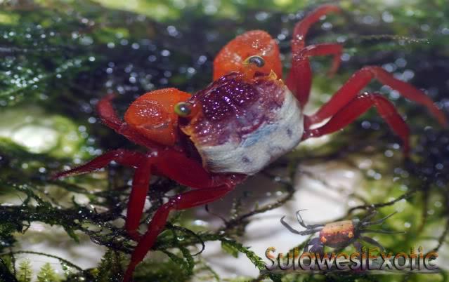 Geosesarma notophorum (Mandarin crab) DSC_0014