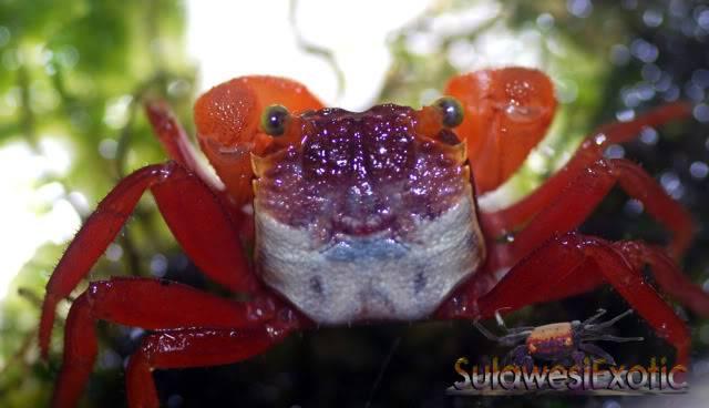 Geosesarma notophorum (Mandarin crab) DSC_0017