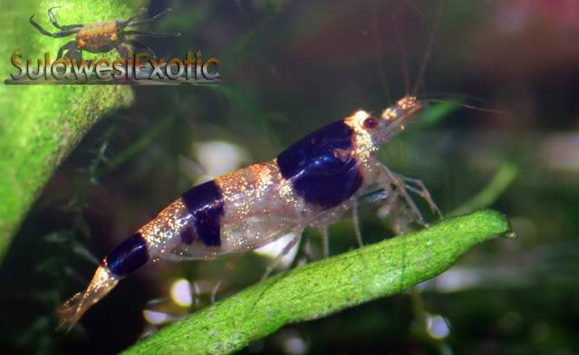 Caridina Sulawensis sp. (Mambo Bee) ou Indo bee Indobee
