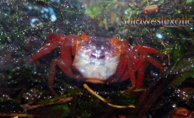 Geosesarma notophorum (Mandarin crab) Orange-1