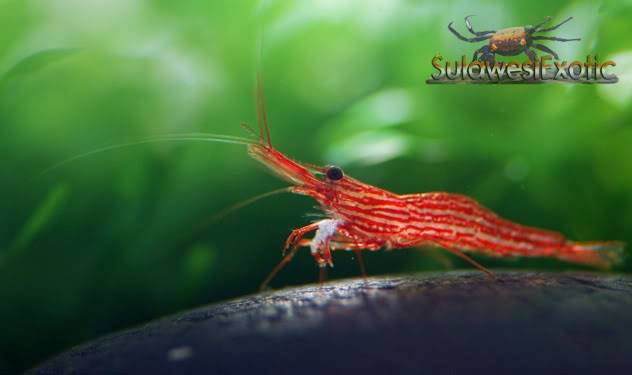 "caridina sp Red line bee""Matano"" Redline"