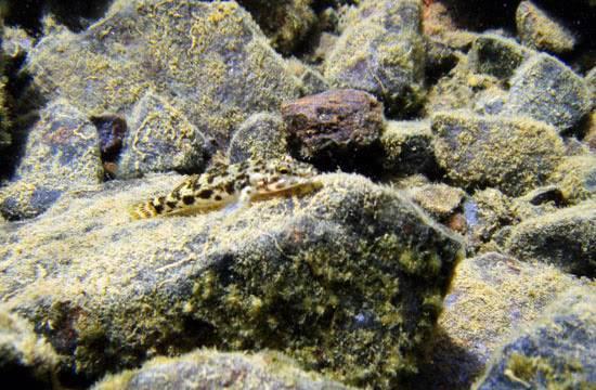 fishes Sulawesi Sulawesi-towuti-22