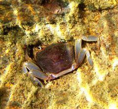 crabs sulawesi Sulawesi-towuti-23