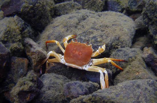 crabs sulawesi Sulawesi-towuti-24