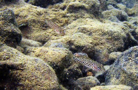 fishes Sulawesi Sulawesi-towuti-25