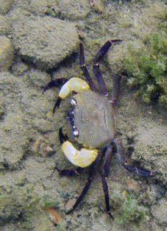 crabs sulawesi Sulawesi-towuti-26