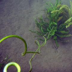 sulawesi plants aquatic and semi aquatic Sulawesi-towuti-29