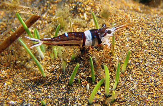 projet sulawesi crevettes Sulawesi-towuti-51