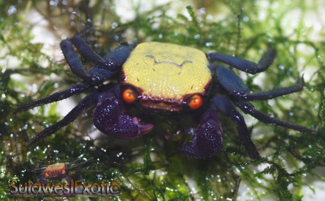 """Geosesarma sp.9 """"crabe vampire"""" Vampireyellow"""