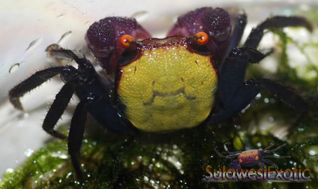 """Geosesarma sp.9 """"crabe vampire"""" Vampireyellow3"""