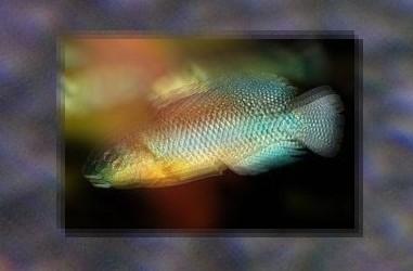 Quiz expert - pour les accros des poissons eau douce-saumâtre (600 points) - Page 18 Quiz-2