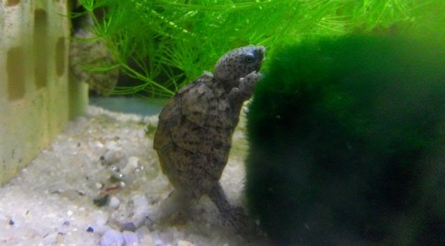 aquaterrarium temporaire 120 litres - tortues Sternotheruscarinatus1